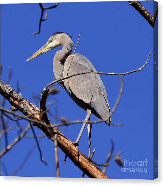 Great Blue Heron Strikes A Pose Canvas Print