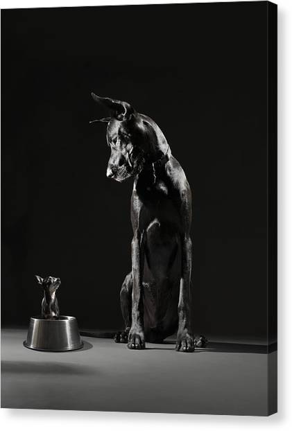 Great Dane And Chihuahua Staring At One Canvas Print