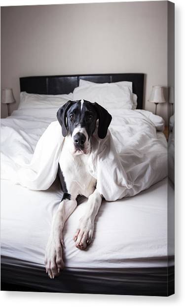 Great Dane On A Bed Canvas Print by Claire Plumridge