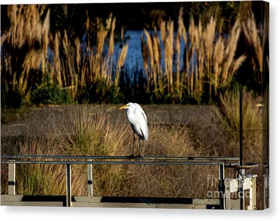 Great Egret Posing By Golden Pampas Grass Canvas Print
