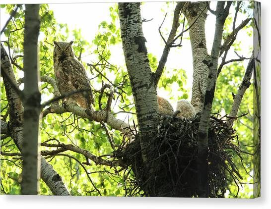 Great Horned Owl And Babies Canvas Print