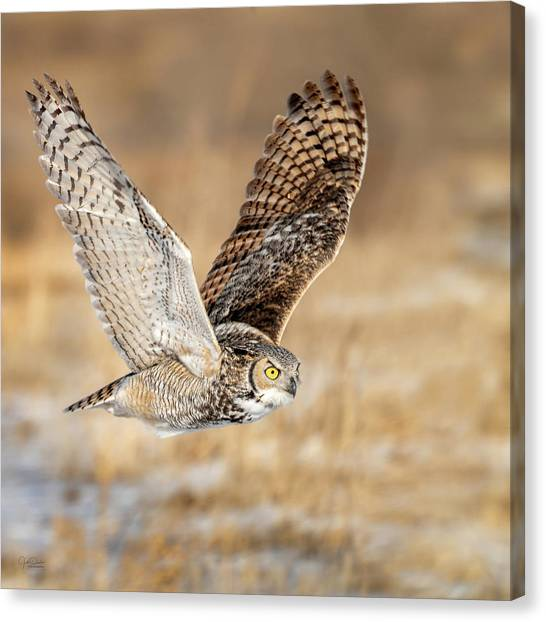 Great Horned Owl In Flight Canvas Print