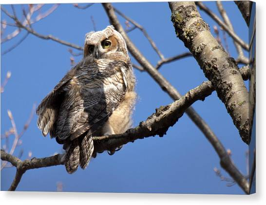Great Horned Owlet 42915 Canvas Print