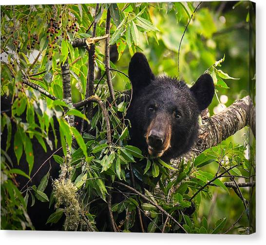 Great Smoky Mountains Bear - Black Bear Canvas Print