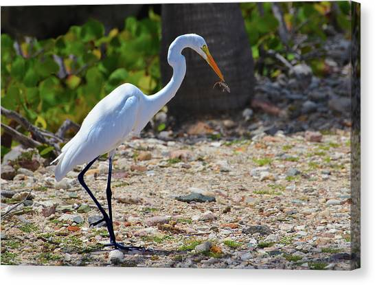 Great White Egret Hunter Canvas Print