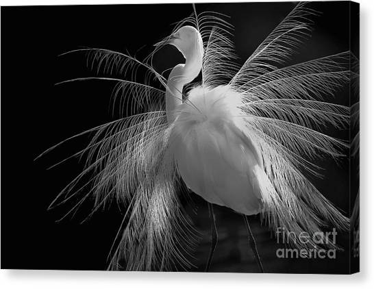 Great White Egret Portrait - Displaying Plumage  Canvas Print