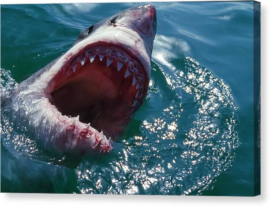 Great White Shark, Near Gansbaii, South Canvas Print by Stuart Westmorland