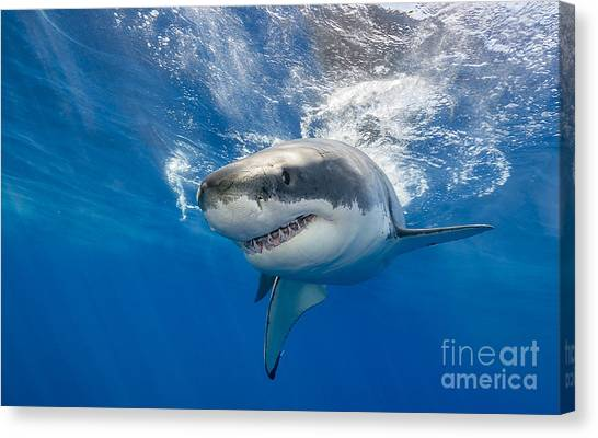 Horizontal Canvas Print - Great White Shark Swimming Just Under by Wildestanimal