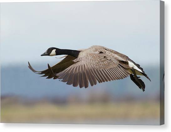 Greater Canada Goose Alighting Canvas Print by Ken Archer