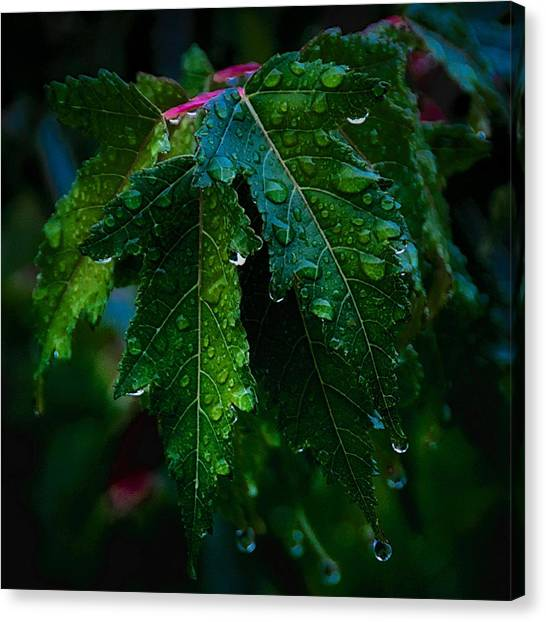 Green And Wet Leaves Canvas Print