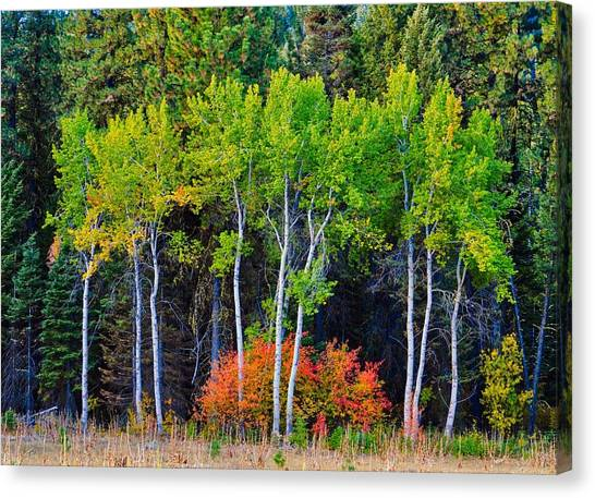 Green Aspens Red Bushes Canvas Print