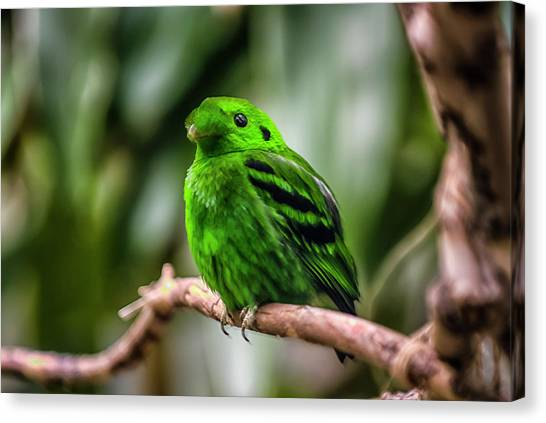 Green Broadbill Canvas Print