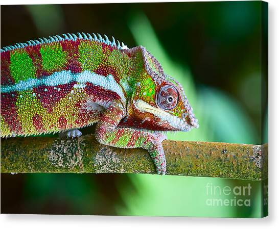 Change Canvas Print - Green Chameleon On The Green Grass by Fedor Selivanov