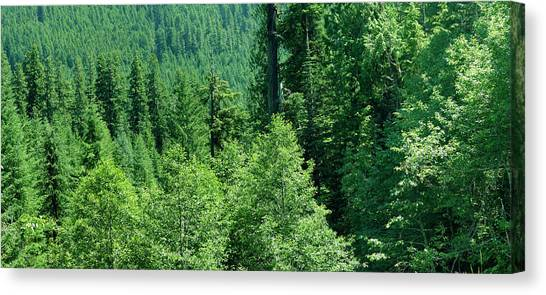 Green Conifer Forest On Steep Hillside  Canvas Print