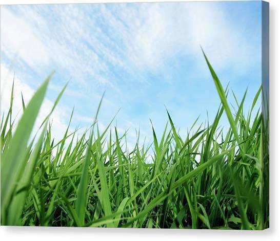 Blade Of Grass Canvas Print - Green Grass Against Blue Sky by Steven Puetzer