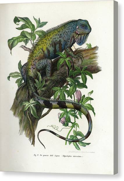 Iguanas Canvas Print - Green Iguana by Leopold Fitzinger