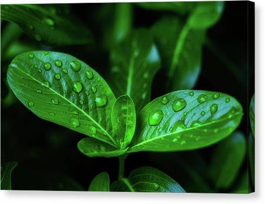 Green Leaf With Water Canvas Print