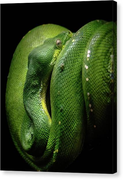 Canvas Print featuring the photograph Green Tree Boa by Elaine Malott