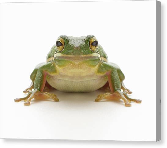 Green Tree Frog Hylidae Cinerea Canvas Print