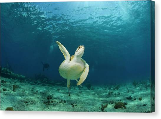 Green Turtle Chelonia Mydas Swimming Canvas Print by Stephen Frink