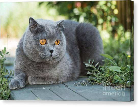 Grey British Cat Lying In The Green Canvas Print by Anton Papulov