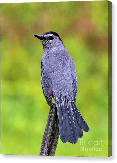 Grey Catbird Canvas Print