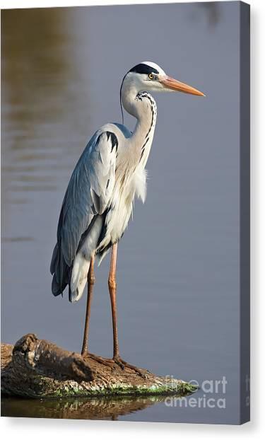 Grey Heron  Ardea Cinerea  South Africa Canvas Print by Johan Swanepoel