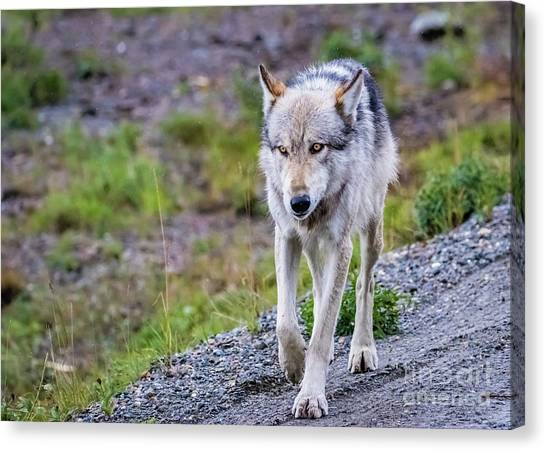 Grey Wolf In Denali National Park, Alaska Canvas Print