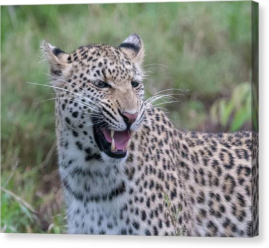 Grimacing Leopard Canvas Print