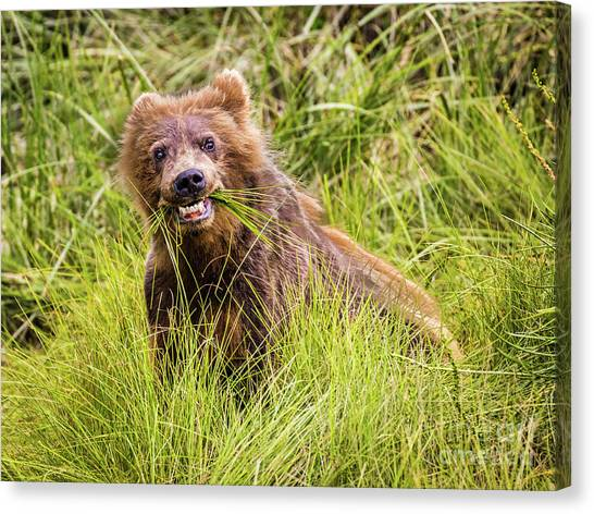 Grizzly Cub Grazing, Alaska Canvas Print