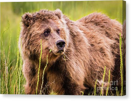 Grizzly In Lake Clark National Park, Alaska Canvas Print