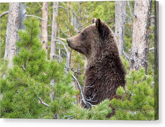 Grizzly Profile Canvas Print