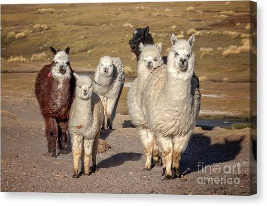 Andes Mountains Canvas Print - Group Of Alpacas by Delphimages Photo Creations