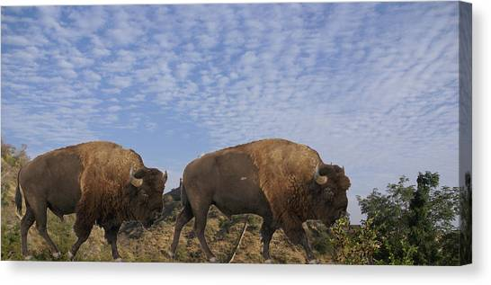 Group Of Bison Walking Against Rocky Mountains  Canvas Print