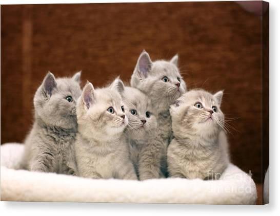 Grey Background Canvas Print - Group Of Cute Gray British Kittens by Kichigin