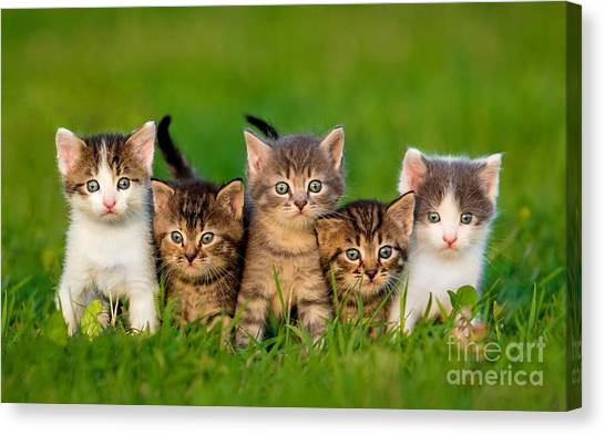 Grey Background Canvas Print - Group Of Five Little Kittens Sitting On by Grigorita Ko