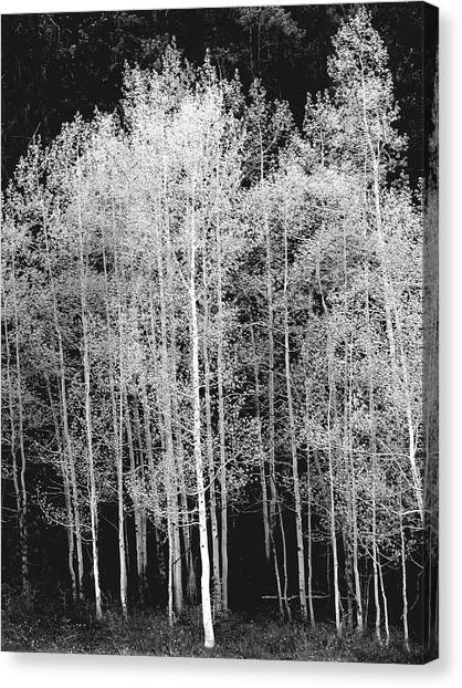 Grove Of Aspen Trees Populus Canvas Print