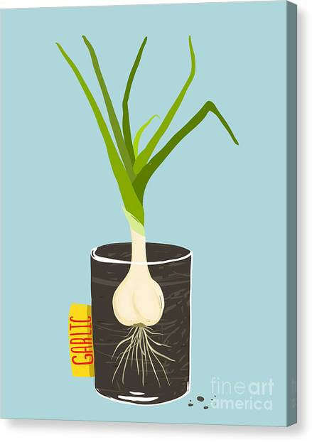 Ingredient Canvas Print - Growing Garlic With Green Leafy Top In by Popmarleo