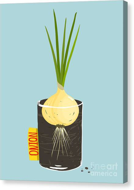 Ingredient Canvas Print - Growing Onion With Green Leafy Top In by Popmarleo