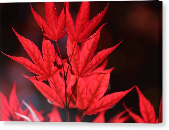 Guardsman Red Japanese Maple Leaves Canvas Print