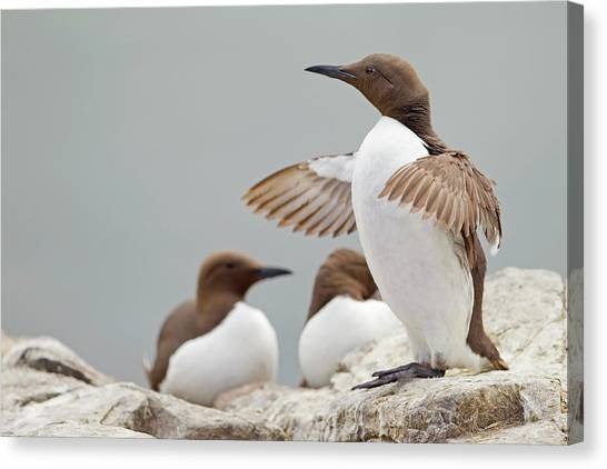 Sunderland Canvas Print - Guillemot At Farne Island With Wings by Steve Ward Nature Photography