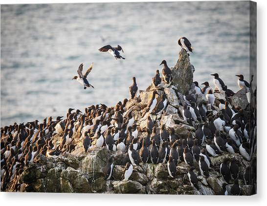 Canvas Print featuring the photograph Guillemot's On Stack Rocks by Elliott Coleman