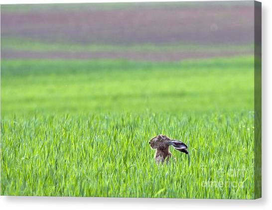 Zoology Canvas Print - Hare Sitting In The Grass On The Field by Sokolov Alexey