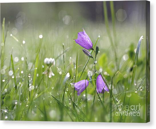 Harebells And Water Drops Canvas Print