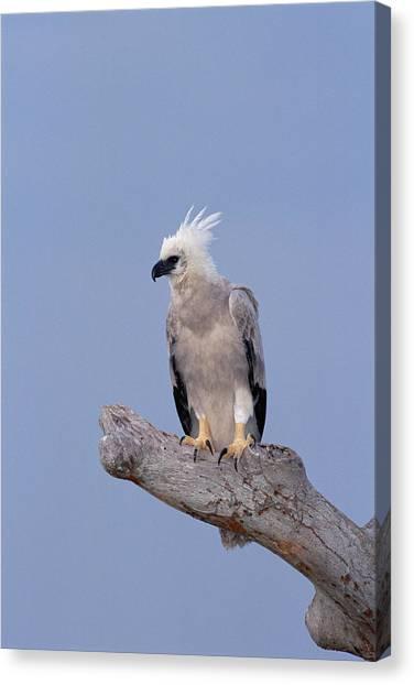 Harpy Eagle Harpia Harpyja, Eight Month Canvas Print by Tui De Roy/ Minden Pictures