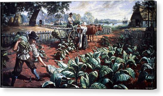Harvesting Tobacco In Early Virginia Canvas Print by Hulton Archive