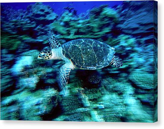 Hawksbill Sea Turtle, Maldives Canvas Print by Stuart Westmorland