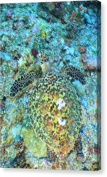 Hawksbill Sea Turtle, North Huvadhoo Canvas Print by Stuart Westmorland