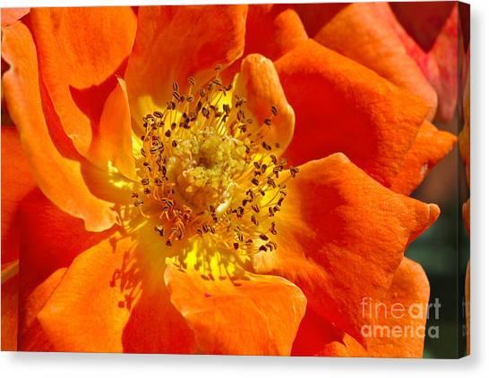 Heart Of The Orange Rose Canvas Print