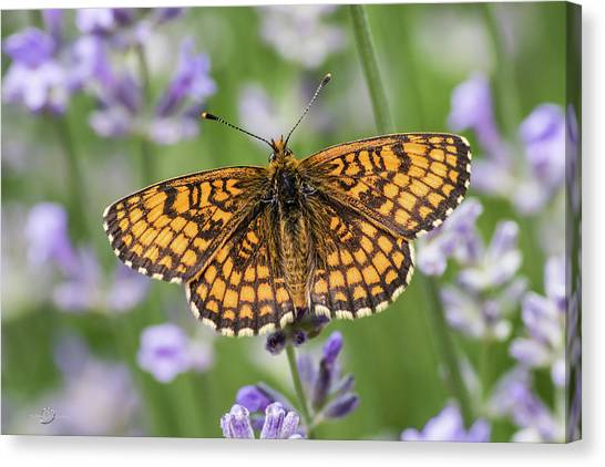 Heath Fritillary On The Lavender Canvas Print